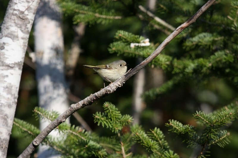 Ruby-crowned Kinglet 0575