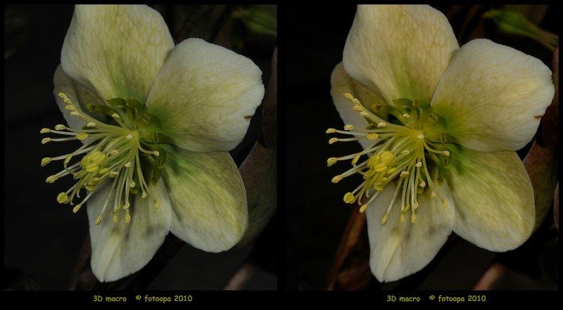 fotoopa D322536 Helleborus flower