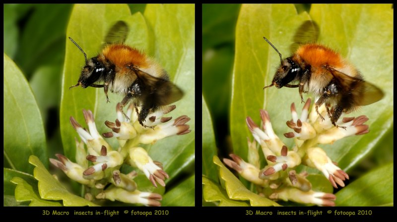 fotoopa 20100327_500 Vosje - Andrena fulva