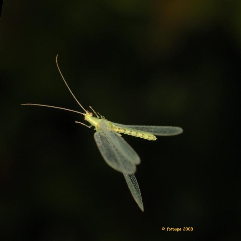 Chrysoperla carnea in flight.