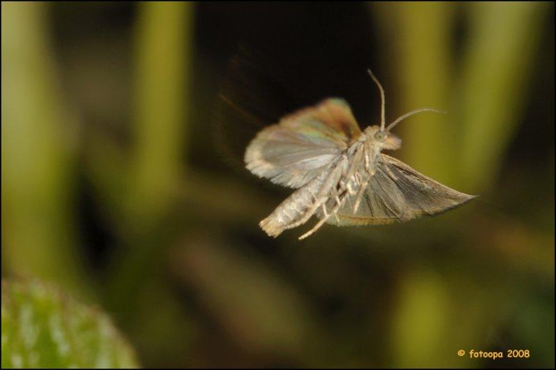 Chrysoteuchia culmella in-flight.