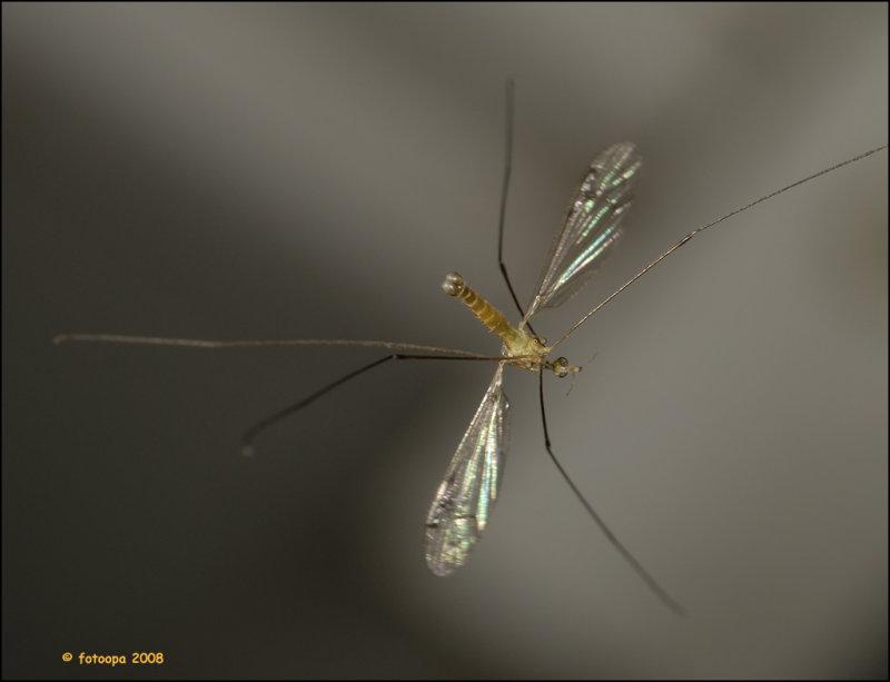 Small cranefly
