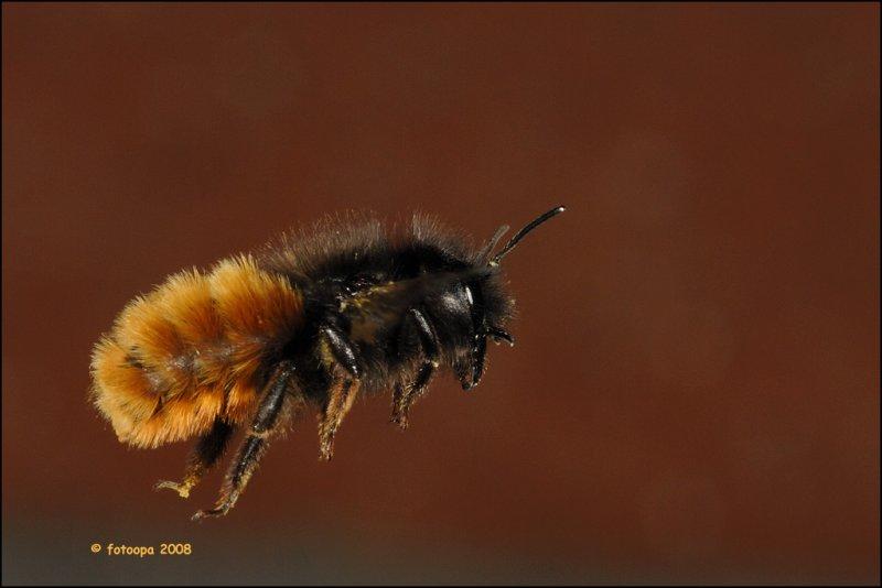 Osmia cornuta - metselbij_16331.