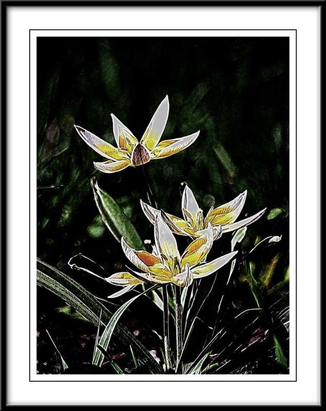 Small botanical tulips...