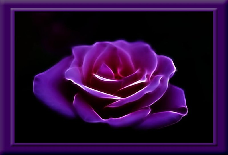 glowing rose...