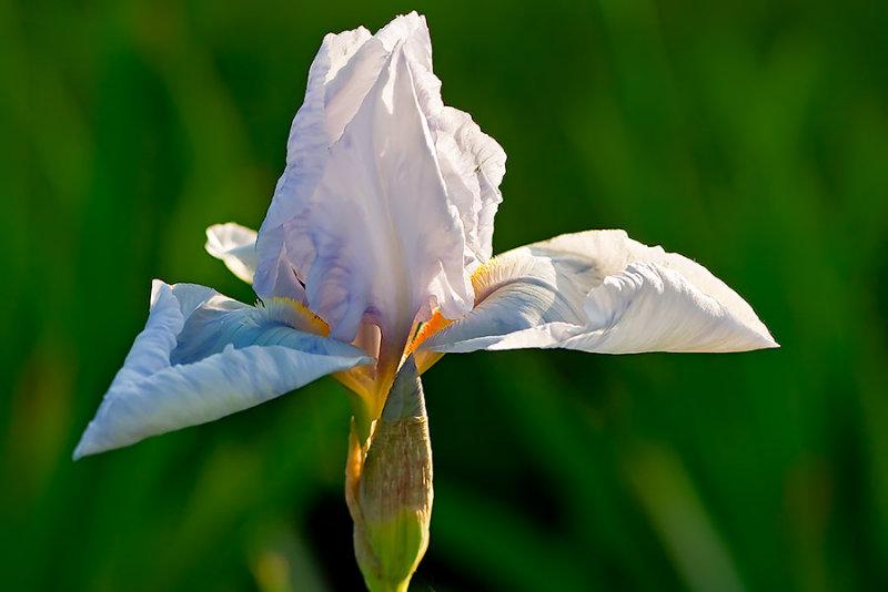 Angels Wings Of Iris