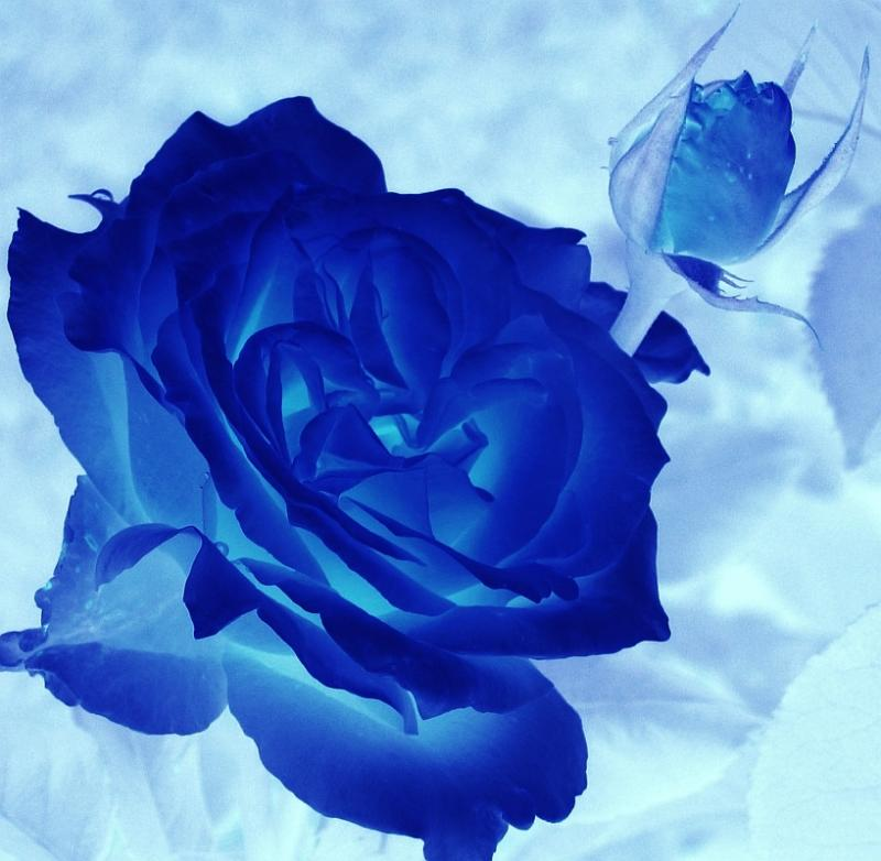 Blue Rose Is