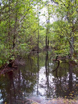 Swamp In The Woods