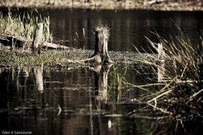 Swamp Stumps
