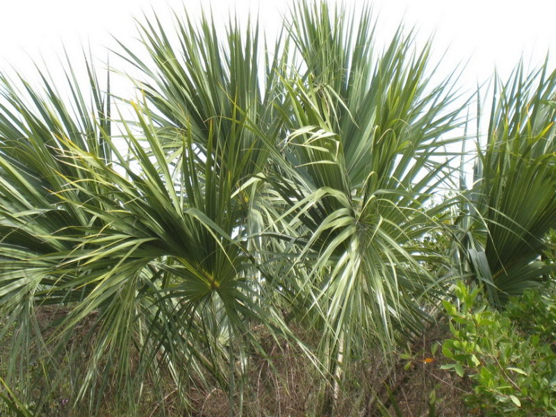 Palms everywhere, about 20 species found here, but only 3-4 native to Florida.