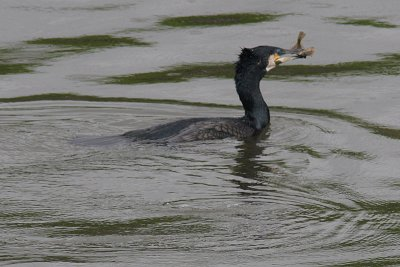 Cormorant on River Clyde