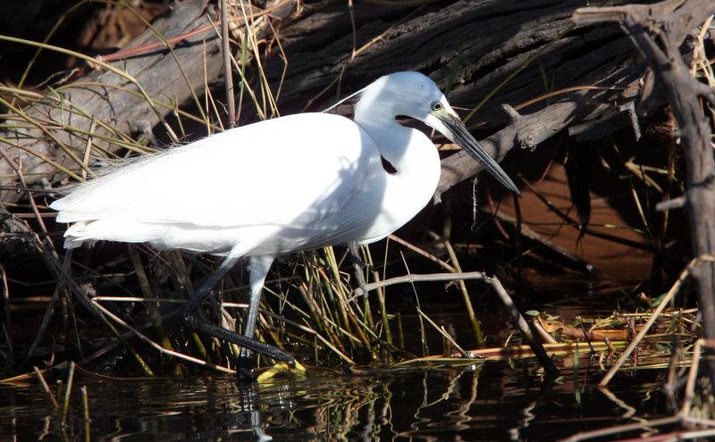 BIRD - EGRET - LITTLE EGRET - CHOBE NATIONAL PARK BOTSWANA (8).JPG