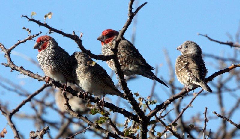 BIRD - FINCH - RED-HEADED FINCH - AMADINA ERYTHROCEPHALA - ETOSHA NATIONAL PARK NAMIBIA (2).JPG