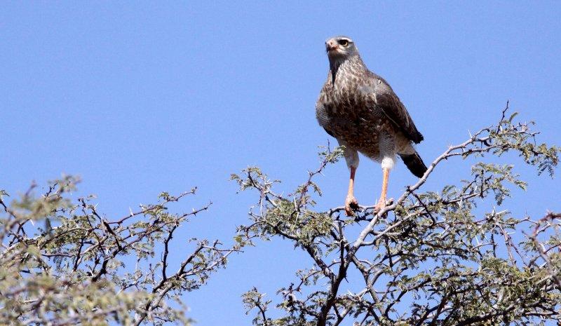 BIRD - GOS_CA (6).JPG