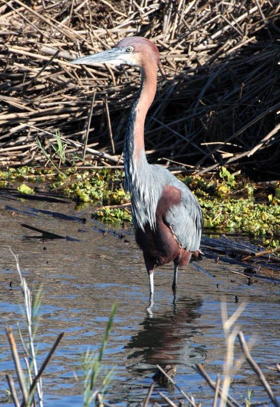 BIRD - HERON - GOLIATH HERON - ARDEA GOLIATH - KRUGER NATIONAL PARK SOUTH AFRICA (7).JPG