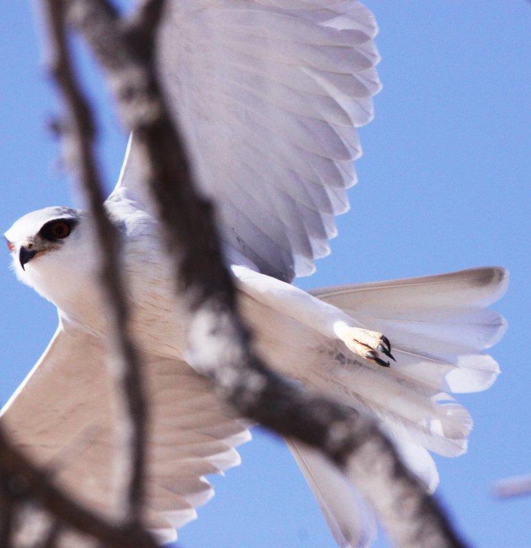 BIRD - KITE - BLACK-SHOULDERED KITE - KGALAGADI NATIONAL PARK SOUTH AFRICA (3).JPG