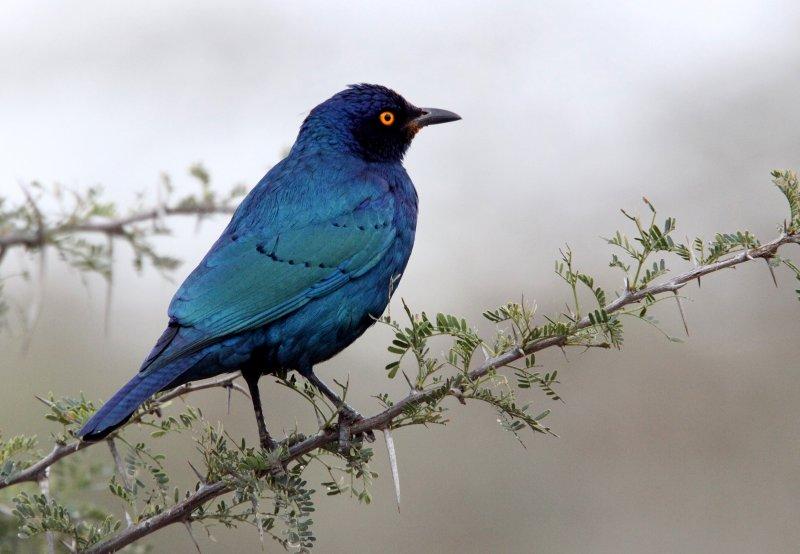 BIRD - STARLING - CAPE GLOSSY STARLING - IMFOLOZI NATIONAL PARK SOUTH AFRICA (6).JPG