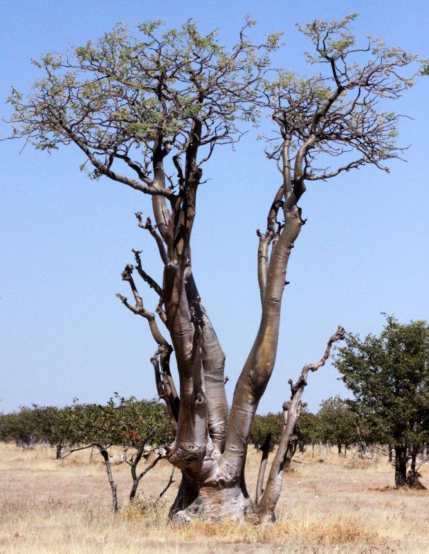 MORINGACEAE - MORINGA OVALIFOLIA - ETOSHA NATIONAL PARK NAMIBIA - GHOST TREE FOREST (3).JPG