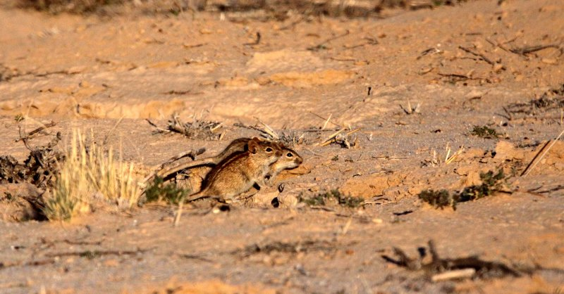 RODENT - MOUSE - FOUR-STRIPED GRASS MOUSE - RHABDOMYS PUMILIO - KGALAGADI NATIONAL PARK SOUTH AFRICA (6).JPG