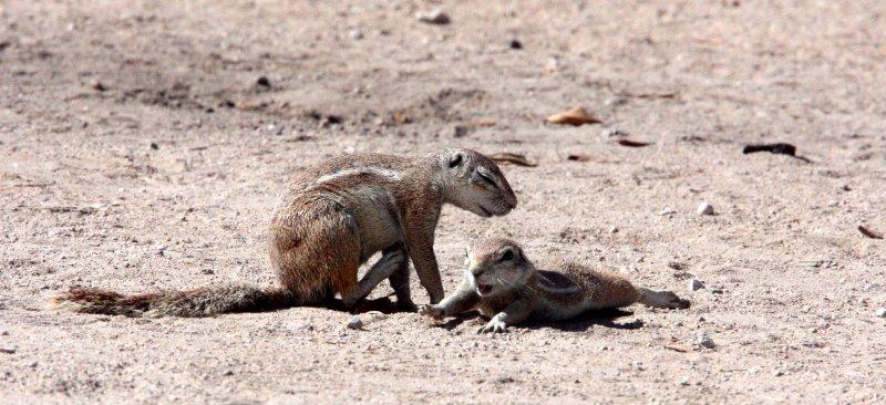 RODENT - SQUIRREL - SOUTHERN GROUND SQUIRREL - ETOSHA NATIONAL PARK NAMIBIA (39).JPG