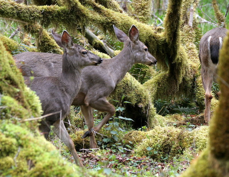 CERVID - DEER - BLACK-TAILED DEER - ELWHA RIVER VALLEY (22).JPG