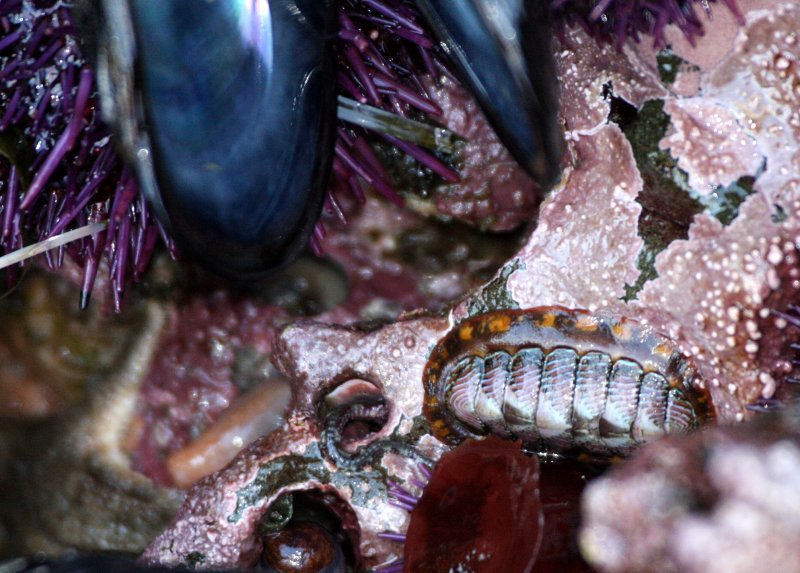 INVERT - MARINE INTERTIDAL - BARNACLE - THATCHED ACRORN BARNACLE - SALT CREEK WA (2).JPG