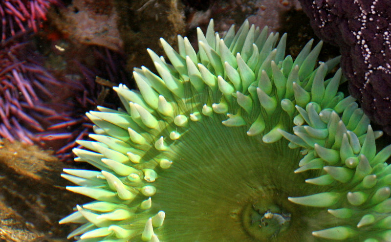 INVERTS - INTERTIDAL - CNIDARIAN - ANTHOPLEURA XANTHOGRAMMICA - GREEN SEA ANEMONE - TONGUE POINT WA (5).JPG