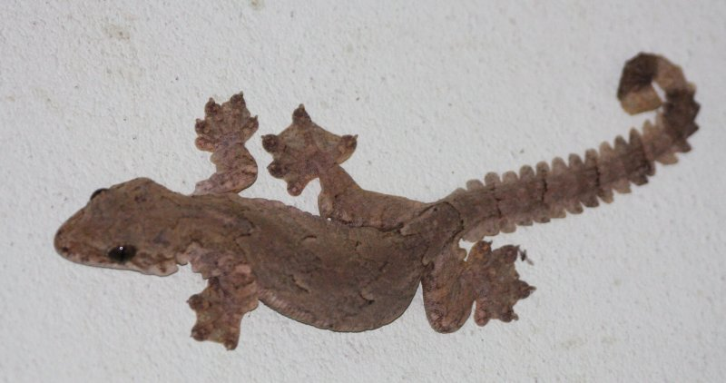 REPTILE - GECKO - SMOOTH-BACKED GLIDING GECKO - PTYCHOZOON LIONOTUM - KRUNG CHIN NP THAILAND  (6).JPG