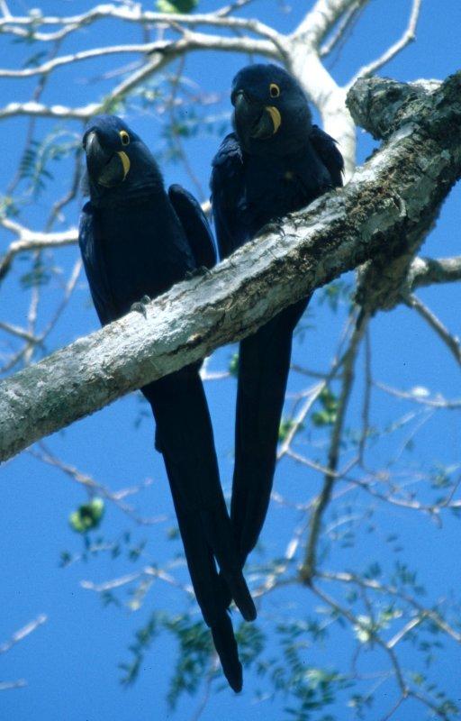 BIRD - MACAW - HYACINTH - PANTANAL D.jpg