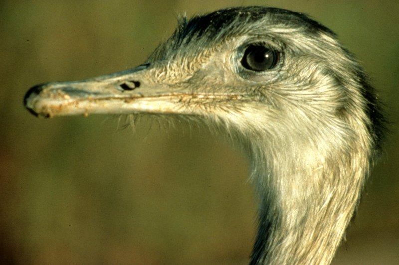 BIRD - RHEA - PANTANAL E.jpg
