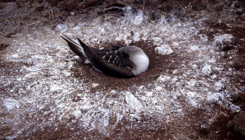 BIRD - BOOBY - BLUE FOOTED - GALAPAGOS B.jpg