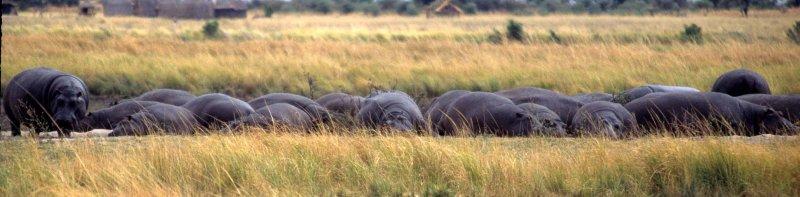 HIPPO- CHOBEA.jpg