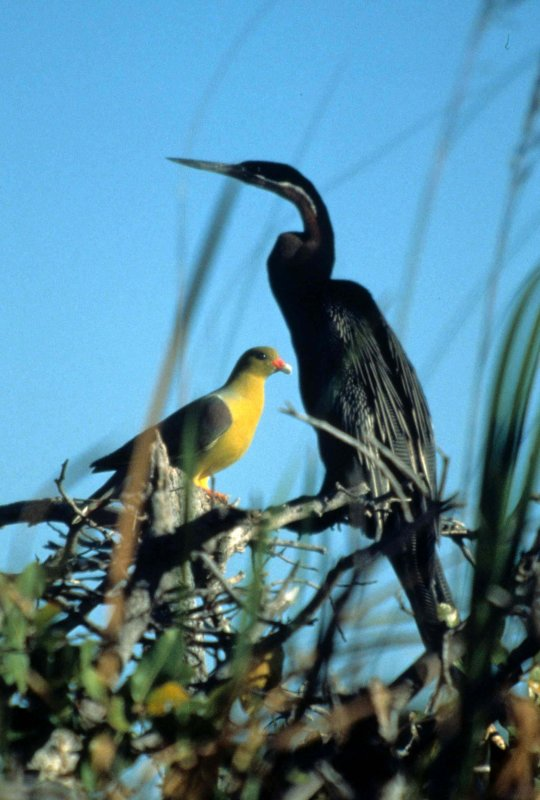 BIRDS - AFRICAN DARTER & GREEN PIGEON.jpg