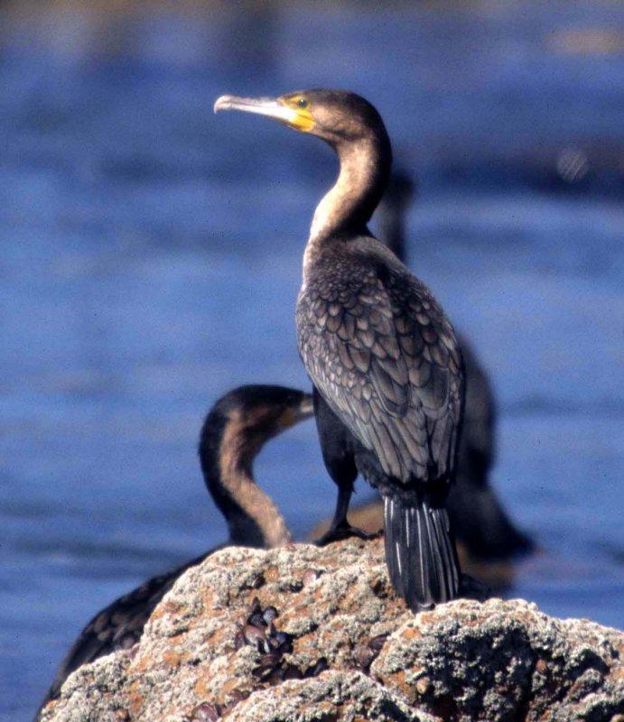BIRDS - CORMORANT - REED - NAMIBIA COAST A.jpg