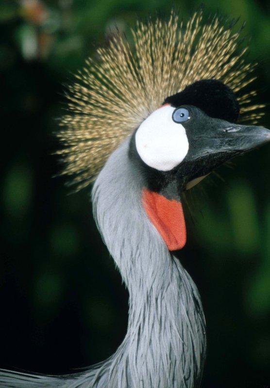BIRDS - CRANE - CROWNED CRANE - SOUTHERN E.jpg