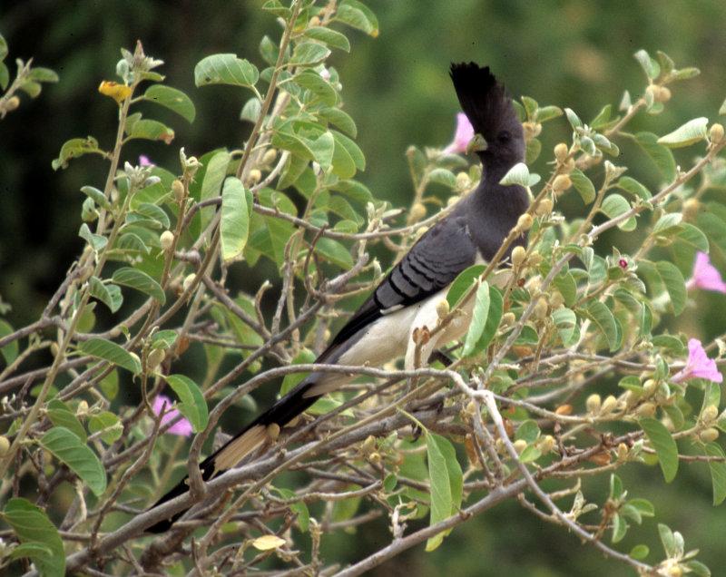 BIRDS - GO AWAY - WHITE BELLIED - UGANDA.jpg