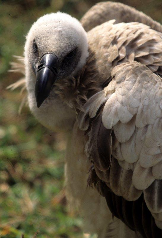 BIRDS - VULTURE - WHITEBACKED A.jpg