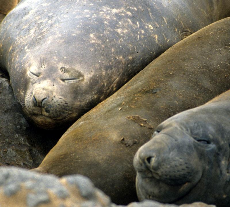 PINNIPED - SEAL - SOUTHERN ELEPHANT SEALS - ANTARCTICA (34).jpg