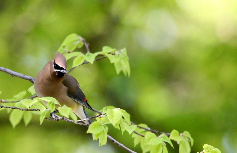 BIRD - WAXWING - CEDAR WAXWING -  SACRAMENTO CALIFORNIA (3).JPG