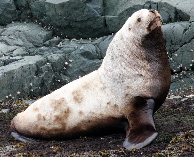 PINNIPED - SEA LION - STELLERS SEA LION - KNIGHTS INLET BRITISH COLUMBIA (4).JPG