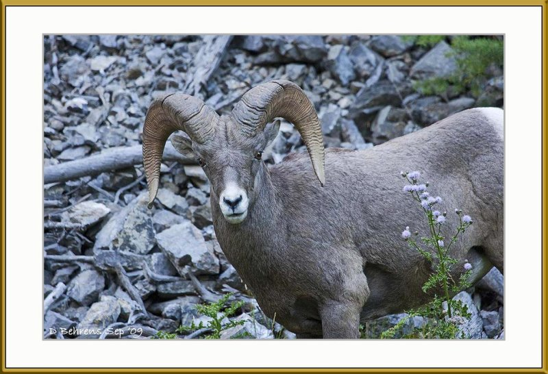 Bighorn at Sinclair Canyon.jpg