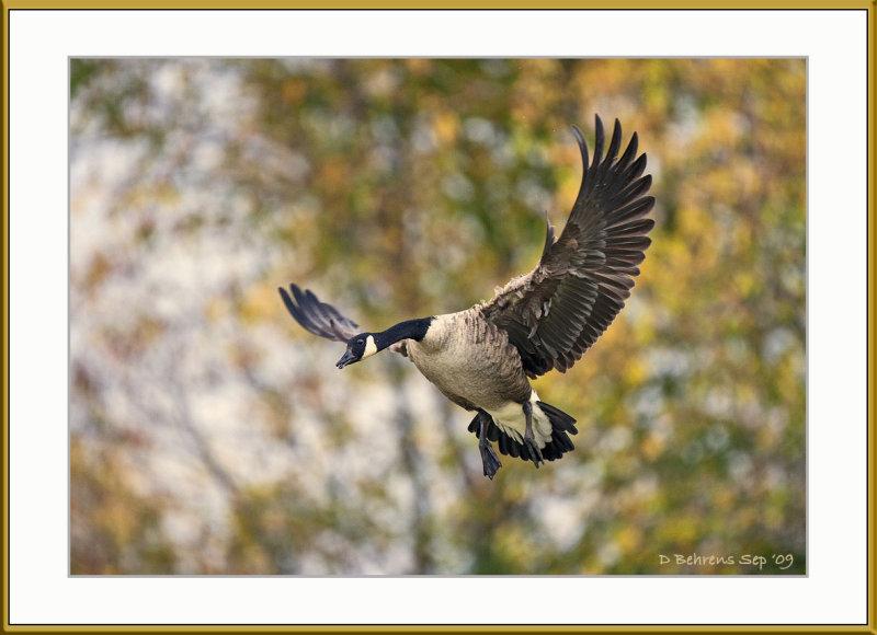 Canada Goose at Upper Canada.jpg