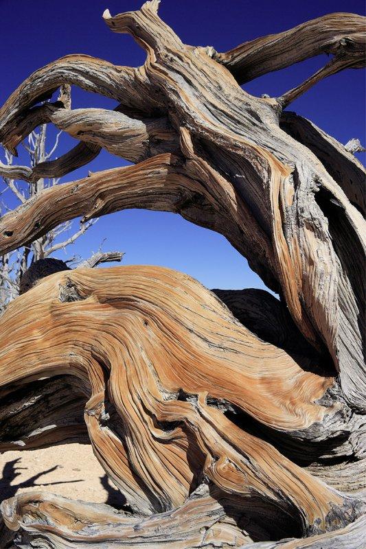 Bristlecone Root
