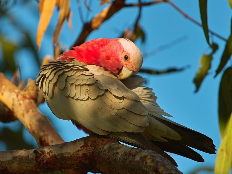 Galah - Evening Light