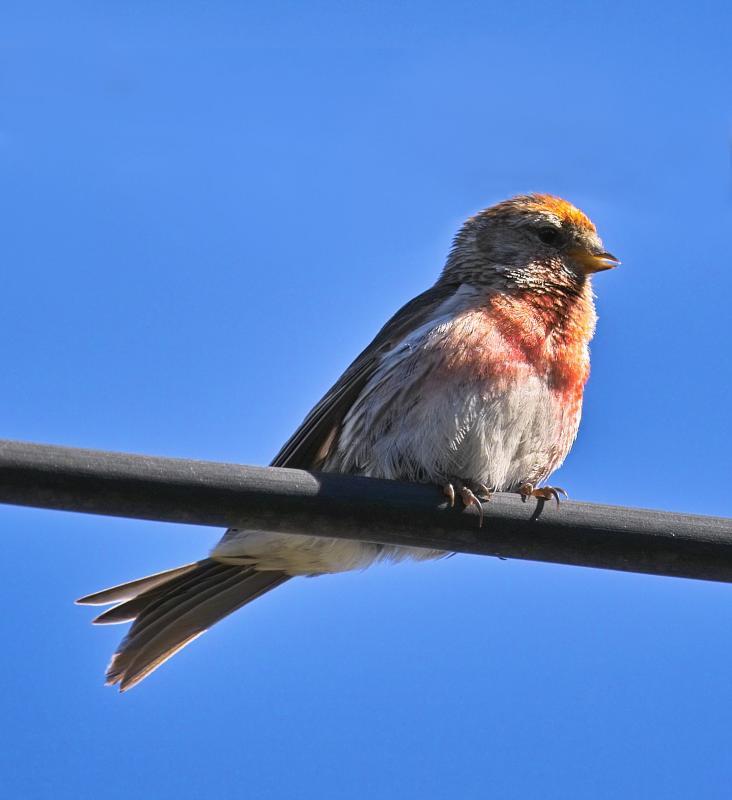 Redpoll - male - (Carduelis flammea)