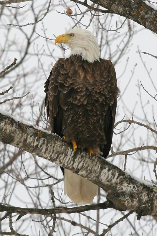 Bald Eagle on a Grey Day