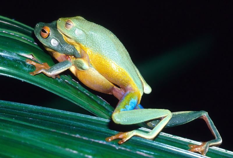 New frog species found by Keith McDonald north Queensland (n002122)