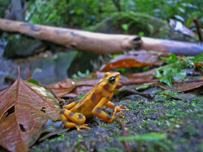 Golden Frog, Atelopus zeteki, El Cope, Panama DSCN2127