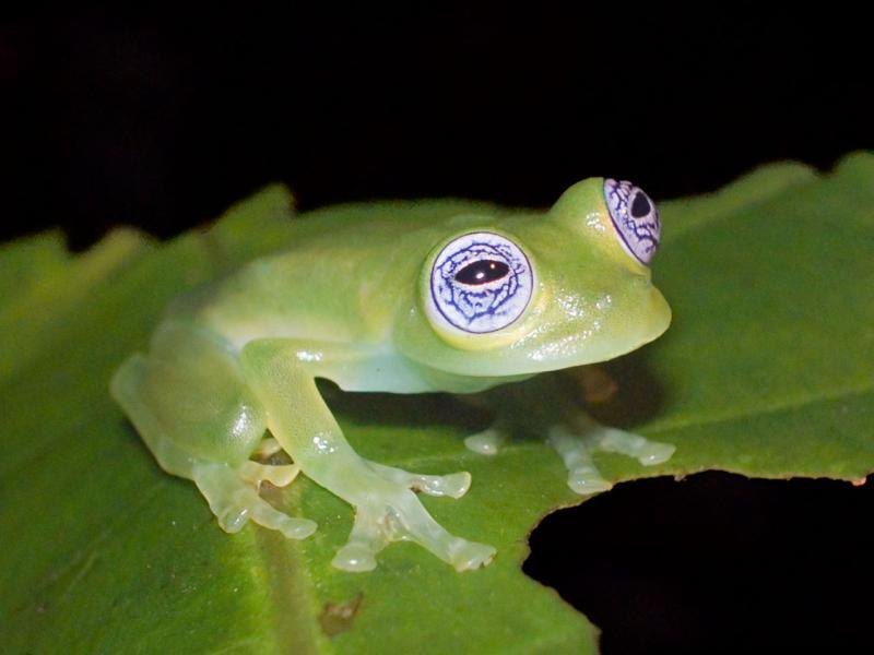 Glass frog, Centrolene ilex, El Cope, Panama DSCN2203