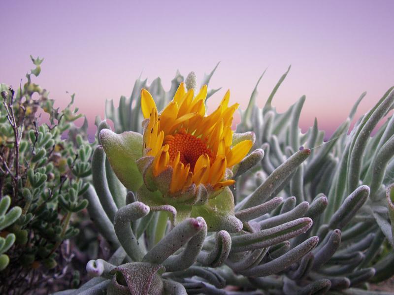 flowering succulent plant IMGP2905